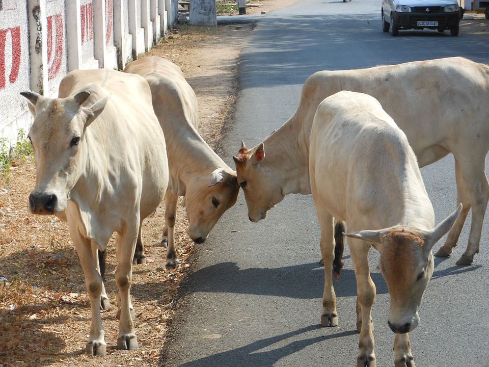 problem of stray cattle in india