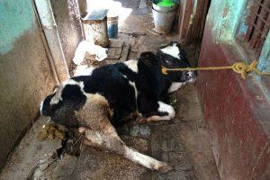 गाय पालन