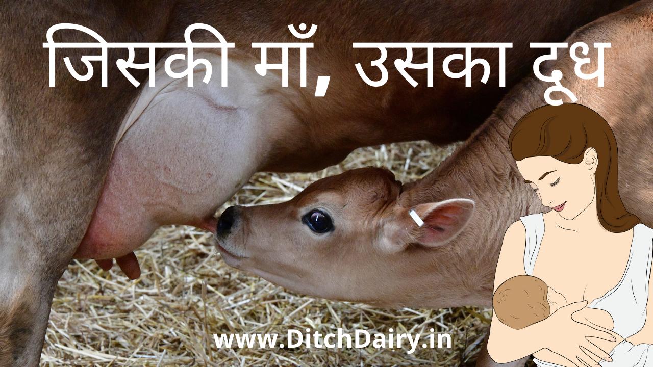 गाय का दूध : नवजात शिशु के लिए वरदान या अभिशाप?